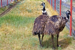 Two birds emu walk in the enclosure in outdoor