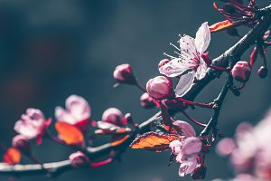 Blossoming cherry. Spring flowers