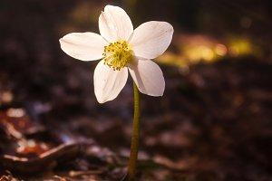 Hellebore flower in spring forest