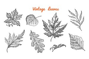 Leaves set, Flower and medicinal herb. Rustic decorative plant. Wedding botanical garden. Vector illustration. engraved hand drawn in vintage victorian sketch. Maple and poplar, oak, birch, chestnut.