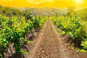Green vineyard at sunset