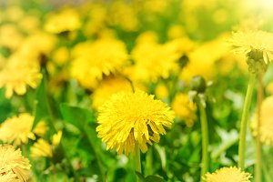 Yellow dandelions on the green field