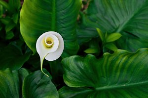 Blossom flower of calla lily