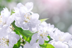 Blossom blooming on tree, springtime