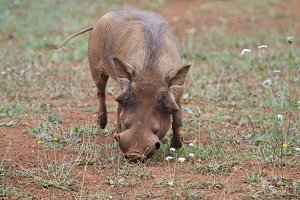 Warthog eating grass