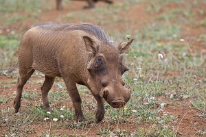 Warthog in the savannah