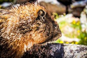 A Marmot By A Rock