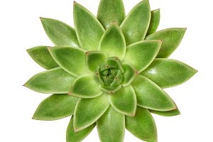 Succulent isolated white background