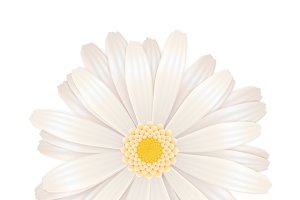 Bright white gerbera flower