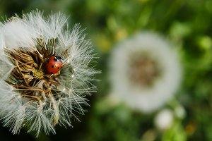 Groundsel, Ladybug, Spring