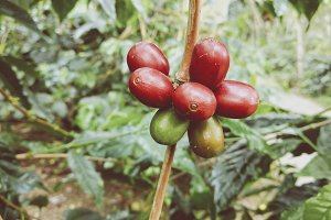 Close up fresh arabica coffee farm