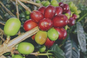 Close up coffee bean red and green