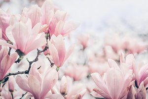 Pink garden with beautiful magnolias
