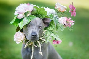 thai ridgeback dog in flower wreath