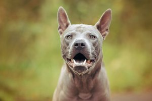 thai ridgeback dog outdoors