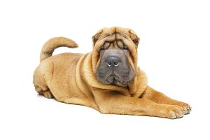 beautiful shar pei puppy
