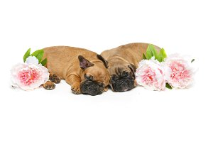 two beautiful french bulldog puppies