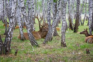 On the farm for the breeding of deer in Siberia,Russia