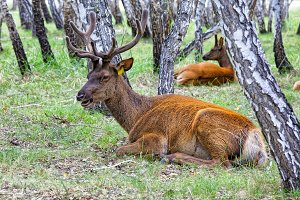 Male and female deer lying down resting in the birch forest