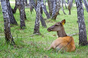 Female deer-maral in the birch forest on the farm