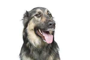 beautiful dog isolated on white