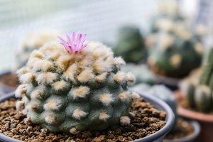 Lophophora jourdaniana cactus flower