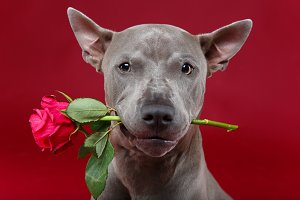 dog holding rose in mouth