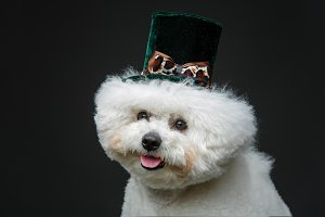 beautiful bichon frisee dog in cute hat