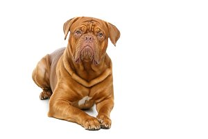 beautiful bordeaux dogue dog