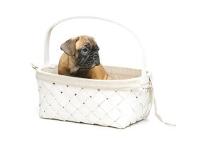 cute french bulldog puppy in basket