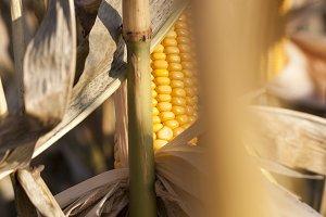 ripe solid corn