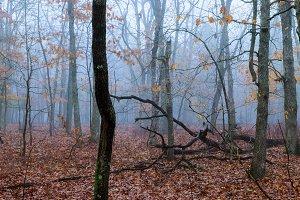 fog in a beautiful forest Coniferous