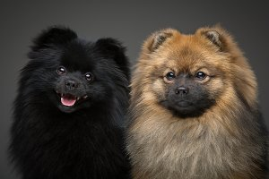 beautiful spitz dogs on grey background