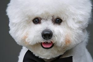 beautiful bichon frisee dog in bowtie
