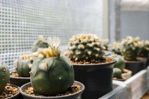 Lophophora diffusa cactus flower