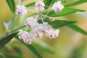 Asclepias fruticosa flowers.