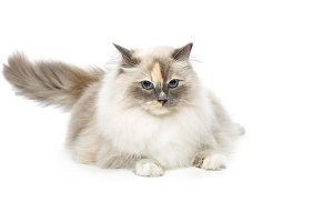 beautiful birma cat isolated on white