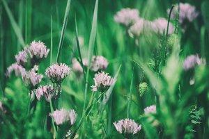 Blossoming of wild garlic