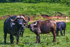 Cape Buffalo watching