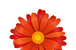 Bright colourful red gerbera flower