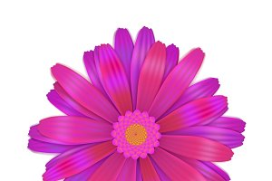 Bright purple gerbera flower