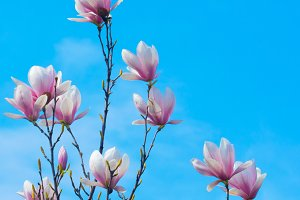 Magnolia Flower and Blue Sky