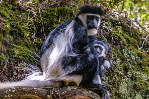 Colobus Monkeys - Love and Trust