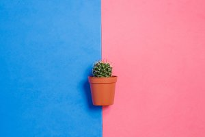 Green Cactus in Pot on Pink and Blue Pastel Color Background. Minimal Concept. Flat Lay. Top View.