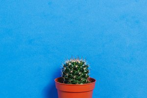 Green Cactus in Pot on Blue Pastel Color Background. Minimal Concept. Flat Lay. Top View.