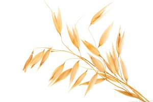oat spike or ears isolated on white background close-up