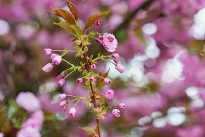 Blooming tree branches with pink flowers and leaves. Spring.