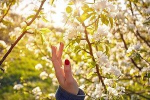 Blossom of cherry