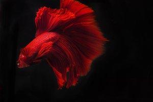 Siam Beta fish