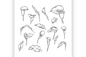 Vector hand drawn elegant callas